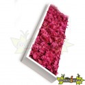 TABLEAU VEGETAL STABILISE FLORA FUCHSIA SLIM 60 X 18