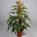 PHILODENDRON RED EMERALD TUTEUR MOUSSE